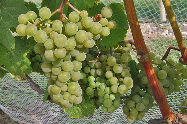 Burmunk Wine Grapevine