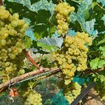Iskorka Wine Grapevine