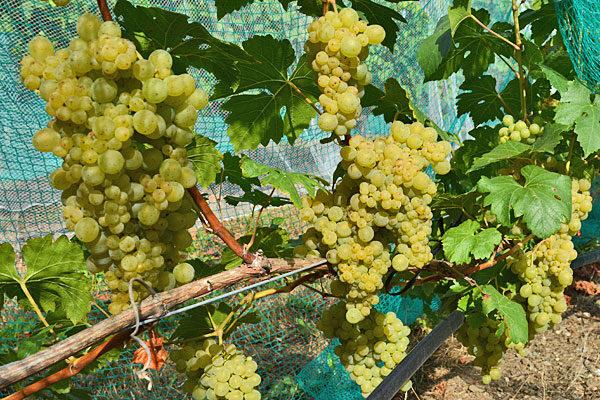 Iskorka Wine Grapevine
