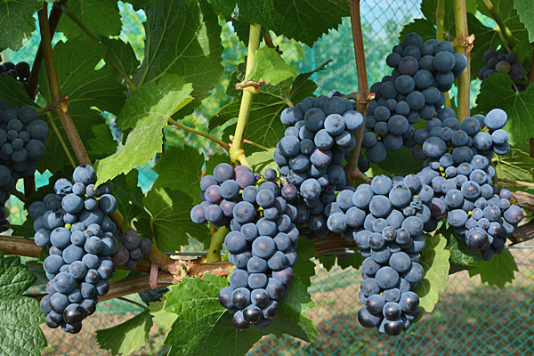 Pinot Noir 71(French 777) Grap