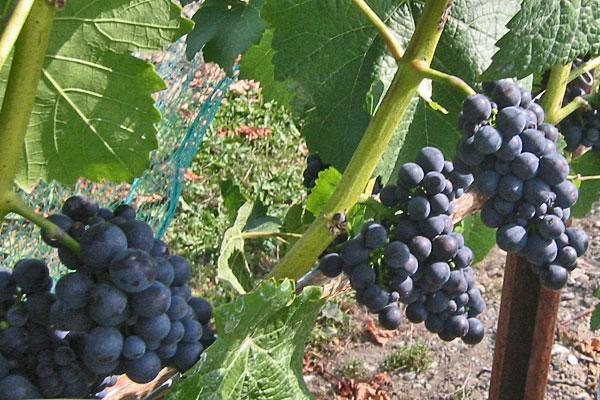 Pinot Noir Precoce Wine Grapev