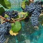 Zweigelt-Rebe Wine Grapevine