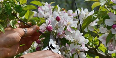 Flower Thinning Fruit Trees