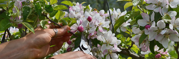 Flower Thinning Fruit Trees