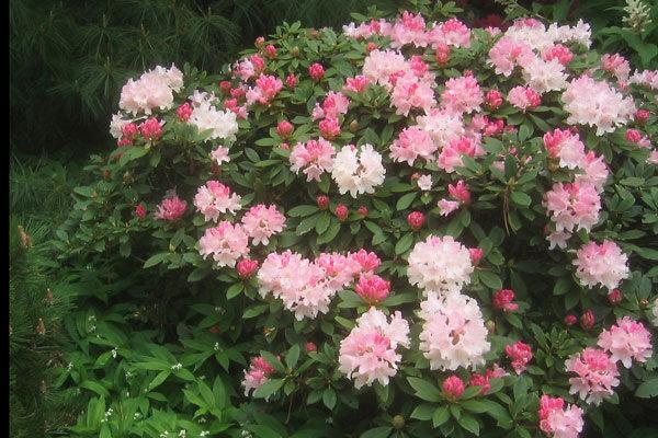 Rhododendron Dreamland Cloud Mountain Farm Center Nursery