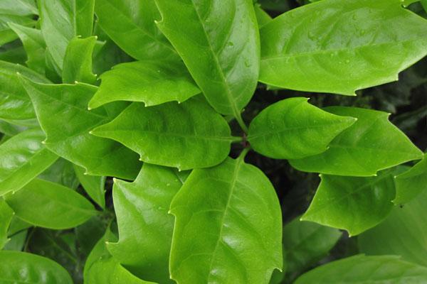 Aucuba japonica Rozanne