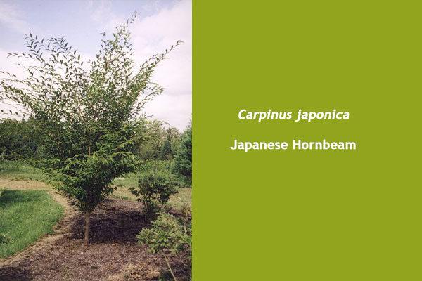 Japanese Hornbeam