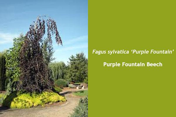 Purple Fountain Beech